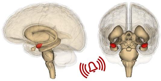 Amygdala 3d agy Stresszoldás